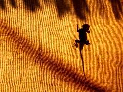 Agama warming itself in the early morning sun... (crazykanga) Tags: kanchenjungachallengewinner thepinnacleblog