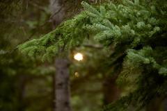 golden eye (ktLaurel) Tags: camping light sunset summer canada green nature gold woods spruce fort goldenhour