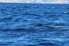 Short-finned Pilot Whale - Madeira, Portugal