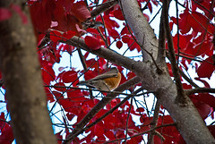 American Robin Amongst Rosy Leaves (aitramah) Tags: autumn red tree bird fall nature robin leaves animal animals jasper natural alberta americanrobin