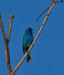 Indigo Bunting (Lindell Dillon) Tags: oklahoma nature birding bunting indigobunting normanok lindelldillon