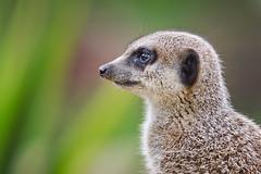 Meerkat (Mr:Mac) Tags: animal meerkat nikon sigma alert 70200mm d7000