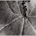 Growing Things (7): Rhubarb thumbnail