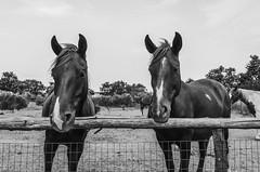 Far West (JBG Associated) Tags: horses white black west nikon nikkor far cavalli bianco nero 18105mm d7000