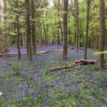 #Bluebell wood @yspsculpture