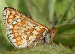 Marsh Fritillary (DebbieH82) Tags: butterfly marshfritillary chambersfarmwoods canon5dmkiii 170515chambersfarmwoods