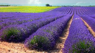 FRANCE - Provence , Lavendelfelder bei Valensole, 12655/5104