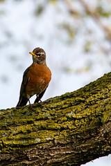 Classic American Robin (Tyr-Sog) Tags: bird spring bokeh michigan americanrobin 600mm canoneos7dmarkii lightroom5 tamronsp150600mmf563divcusd
