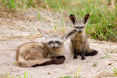 Bat-eared foxes (Thomas Retterath) Tags: africa travel animals canon puppy tiere wildlife urlaub lagoon safari npc afrika botswana predator mammals allrightsreserved carnivore 2014 welpe otocyonmegalotis säugetier batearedfox canidae raubtiere kwando löffelhund canoneos7d thomasretterath canonef300lis28usm copyrightthomasretterath