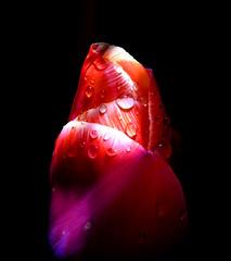 (John Dark Winter) Tags: flower water by night drops tulip flashlight condensation iluminated dmcfz38