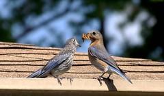 Devotion (ChicaD58) Tags: spring backyard devotion hungry bluebird easternbluebird feedme rooftopdining babybluebird platinumheartaward bluebirdfledgeling 254b livemealworms hungrybluebird bluebirdbabiesandmore