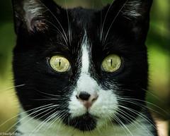 Fenix (tinellifabio) Tags: portrait cats yellow cat canon blackcat eyes occhi sguardo colori gatto ritratto gatti animale yelloweyes muso profilo blackwhitecat profondità 600d animaledomestico 55250