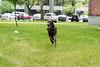 chasing squirrels (VanaTulsi) Tags: dog weimaraner weim blueweimaraner vanatulsi blueweim