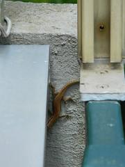 Red lizard (Clerss Malisha) Tags: wild nature animal animals natura lizard animali animale lucertola selvatici