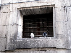 picture 056 (elinapoisa) Tags: alicante pigeons pair gray dove different