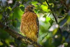 Red-shouldered Hawk (jt893x) Tags: 150600mm bird buteolineatus d500 hawk jt893x nikon nikond500 raptor redshoulderedhawk sigma sigma150600mmf563dgoshsms specanimal