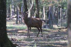 IMG_4647 (minions) Tags: rambouillet 2016 parc animaux cervids