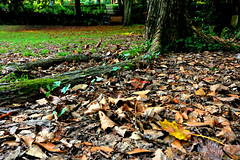 Autumn (LaDani74) Tags: canon760d firenze autumn leaves tree park gras green nature tuscany naturescape roots mossy