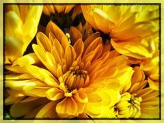 Mums in sun. #simplyirresistable (Kindle Girl) Tags: simplyirresistable flickrfriday flowers macro iphone iphonemacro
