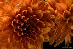 Crowding 1015 Copyrighted (Tjerger) Tags: nature beautiful beauty black bloom closeup crowding detail fall flora floral flower macro orange petals plant portrait white wisconsin dahlia natural