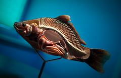 Fehmarn - Tag 6 (O.I.S.) Tags: fehmarn 2016 herbst fall autumn ostsee erlebniswelt heiligenhafen karpfen carp modell model grten fishbone scheme biology biologie fisch fish