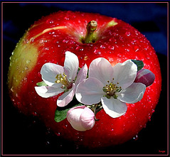 Merci beaucoup!--Thank you very much! ( 2007 ) (Huguette T.) Tags: fruit pomme fleurs automne couleur gouttes waterdrops cration art extrieur apple flowers fall
