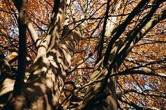 beech (analogrem) Tags: beech tree analog film autumn fall leaves orange yellow shadows branches