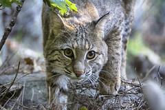 Miss Allie cat (ucumari photography) Tags: ucumariphotography animal mammal nc north carolina zoo october 2016 bobcat allie ally dsc6578 specanimal