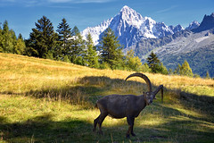 Bouquetin des Alpes (Excalibur67) Tags: nikon d750 sigma 24105f4dgoshsma paysage landscape mountain montagne nature alpes bouquetin animal merlet
