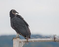 Guarding Secrets (glenda.suebee) Tags: vulture black guard sharp eyed barbed ohio autumn 2016 glendaborchelt