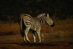DSC03734 (Emily Hanley Photography) Tags: elephant elephants addo elephantpark nationalpark sa southafrica africa photography colour warthogs buffalo zebra waterhole rawimages raw nature naturalphotography animals animal
