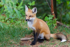 Red Fox - Renard Roux (LudoMC) Tags: parcomga omegapark animal animals animaux fox redfox renard renardroux