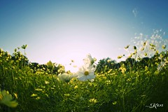 KEN_0626 (KenPhotographys) Tags: travelphoto travelasia travelphotograhy travelworld travel travelthejapan traveljapan tokyo landscape seetheworld snapshot snap scenery shinjuku shibuya flower flowers sky skyporn bluesky sunset cosmos