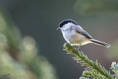 A Willow Tit was preoccupied (MatsOnni) Tags: hömötiainen poecilemontanus willowtit spruce forest bokeh canonef500mmf40lisii canon7dii