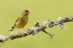 Greenfinch (Steve Mackay) Tags: greenfinch bird birds nature wildlife animal animals stevemackay cloris chloris