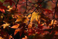 Acer palmatum Versicolor 4 (wundoroo) Tags: nybg newyorkbotanicalgarden newyork bronx fall autumn november leaves maple acer