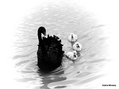 Swan ~ing (damselfly58) Tags: swan cygnet bird waterbirdaustralia melbourne black white