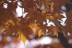 Autumn Color (runslikethewind83) Tags: japan asia autumn fall color season nature leaf leaves colors pentax 2016  tokyo