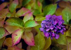 Autumn Flowers (alinnman) Tags: analogue mediumformatfilm mamiya645 mediumformat roll154 mamiya645pro flowers analog kodakektar100 stockholm stockholmsln sweden se