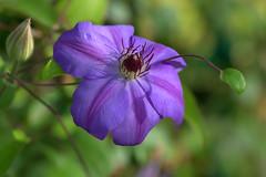 Sunset light (KsCattails) Tags: clematis fall flower kansas kscattails nature overlandparkarboretum purple sunsetlight