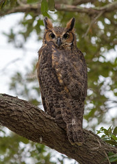 Great Horned Owl (PeterBrannon) Tags: bird bubovirginianus florida greathornedowl nature owlet peterbrannon pinellascounty tree wildlife owlintree portrait