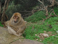 Barbary_Macaque_in_Gibraltar_06 (Abbey_L) Tags: animal barbarymacaque gibraltar macaque mammal monkey tjpio