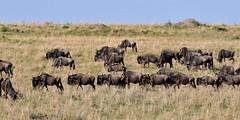 Lines of Wildebeest heading southwards in the Masai Mara, Kenya. (One more shot Rog) Tags: wildebeests mass graaslandsgame drives gnugnuswildebeestsafarimigrationwildebeestmigration masaimara marariver herds herd wildlife savannah crossing wildbeest