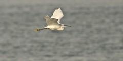 Little egret (Ratsiola) Tags: birds nature bird wildlife littleegret egrets egrettagarzetta naturalworld birdsinflight