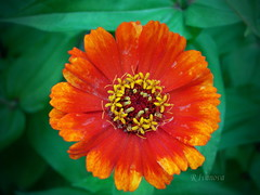 Zinnia (R_Ivanova) Tags: nature macro flower flowers colors color zinnia summer sony garden red orange rivanova риванова цветя циния природа макро лято