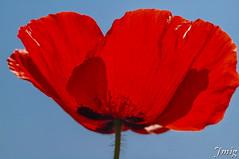 Flor016 (jmig1) Tags: zaragoza nikon d70 flor amapola ababol