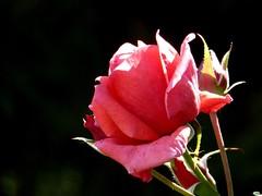 Con bichitos (juantiagues) Tags: rosa flor color rojo juantiagues juanmejuto
