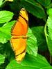 Julia Butterfly, Dryas julia (1) (Herman Giethoorn) Tags: juliabutterfly