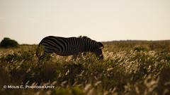 DSC02398.jpg (ChrMous) Tags: tamronsp150600mmf563 southafrica zoogdieren materiaal zuidafrika animals sonyslta99 2016 steppezebra burchellszebra equusburchelli