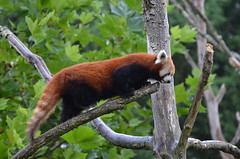 End of the branch (dfromonteil) Tags: firefox panda roux orange animal cute vert green bokeh nature